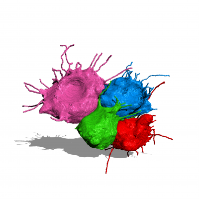 A reconstruction of four granulosa cells from a mouse ovarian follicle. The reconstruction was segmented manually from 405 serial electron micrographs.