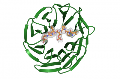 WD40 domain of E3 ubiquitin ligase FBXW7 (green) in complex with its substrate DISK1 (orange).